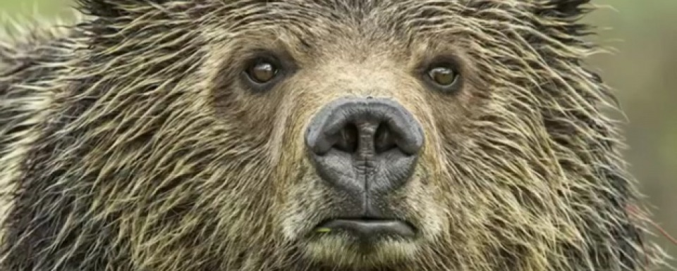 Eyes of the Grizzly by Thomas Mangelsen