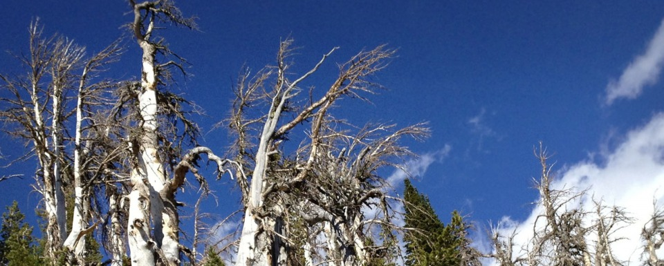 Dead whitebark pine trees in Greater Yellowstone. Photo courtesy U.S. Fish and Wildlife Service
