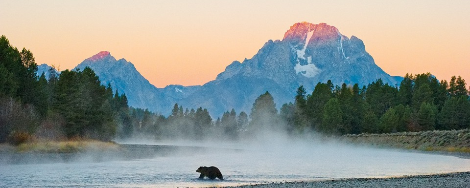Famous Jackson Hole Grizzly 399 crossing the Snake River. Photograph courtesy Thomas Mangelsen (http://www.mangelsen.com/first-light-grizzly-bear-3053.html)