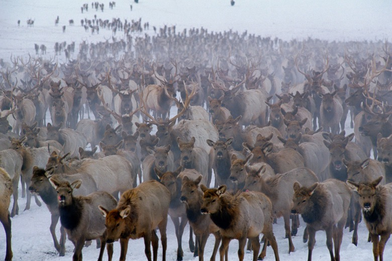 "Is this where a pandemic of Chronic Wasting Disease in Greater Yellowstone could begin? Thousands of elk bunched together on the National Elk Refuge in Jackson Hole, Wyoming.  Photograph ""Winter Herd"" by Thomas D. Mangelsen"