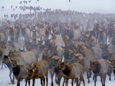 "Thomas Mangelsen's photograph ""Winter Herd"" portraying thousands of elk on the National Elk Refuge in Jackson Hole, Wyoming"