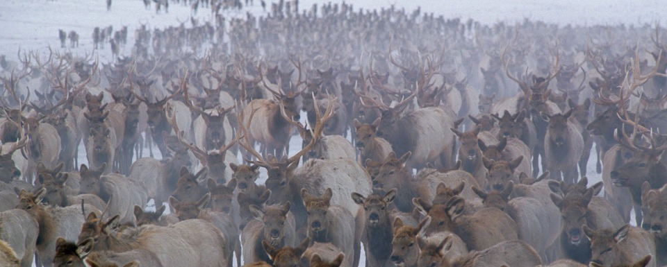 Is this where a pandemic of Chronic Wasting Disease in Greater Yellowstone begins? Thousands of elk bunched together on the National Elk Refuge in Jackson Hole, Wyoming. Tom Mangelsen photo