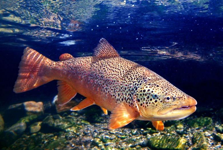 Brown trout, a fine art photograph by Pat Clayton (fisheyeguyphotography.com)