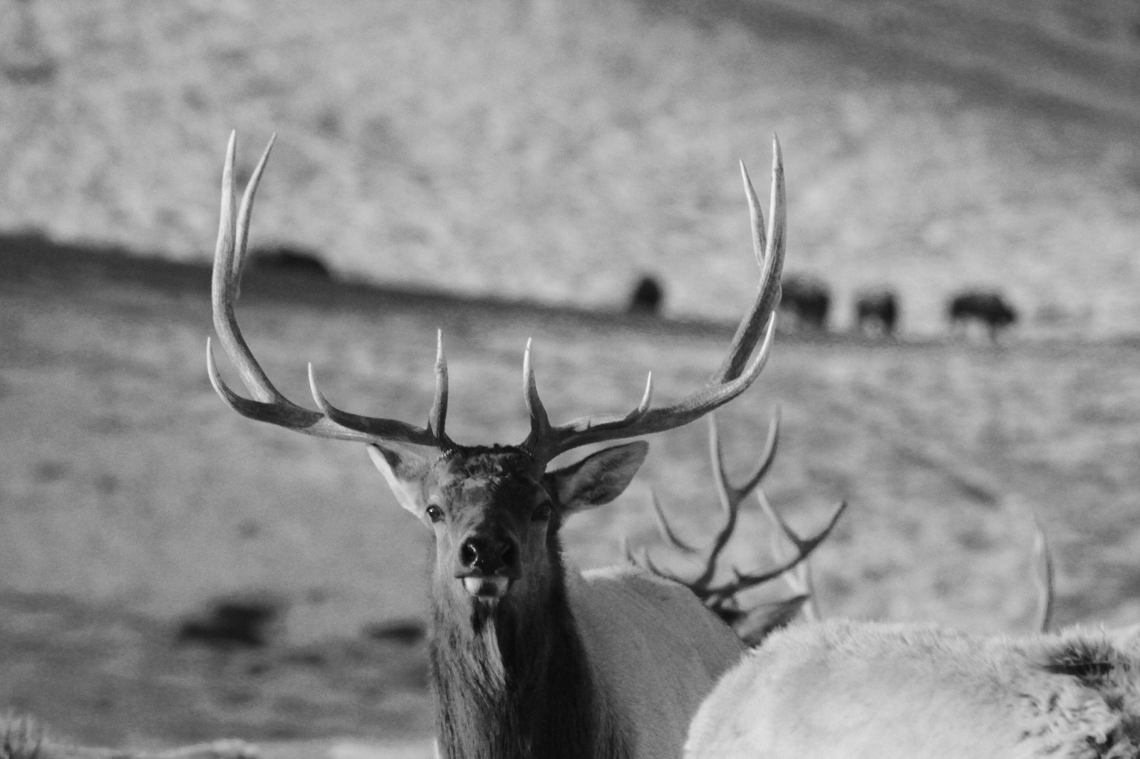 A bull elk on the National Elk Refuge in Jackson Hole, Wyoming. Photo courtesy U.S. Fish and Wildlife Service