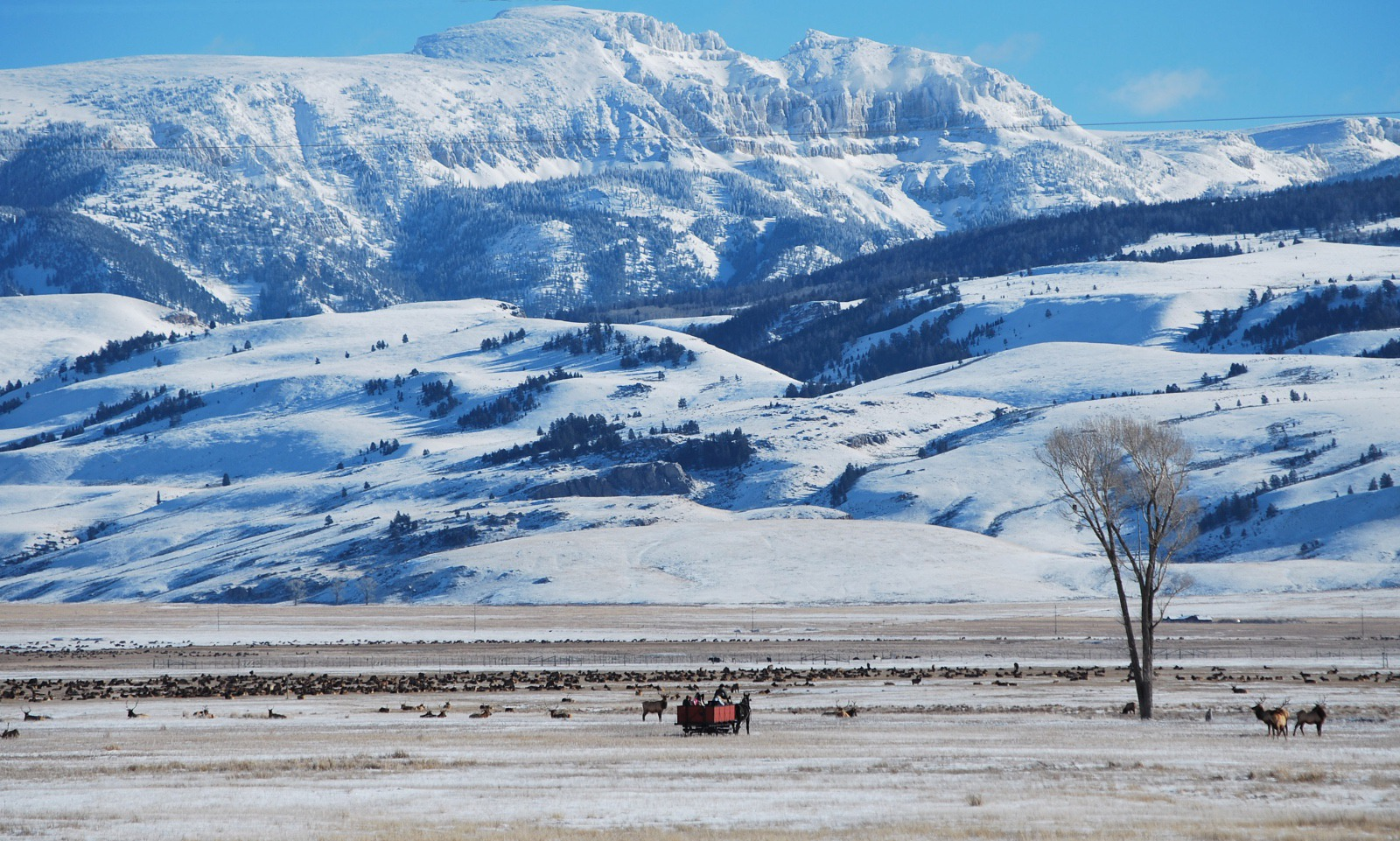 All is not nearly as idyllic as it appears in this scene with tourists enjoying a sleigh ride across the National Elk Refuge in Jackson Hole, Wyoming. Scientists say the unnatural feeding of thousands of wintering wapiti has created ripe conditions for a catastrophic outbreak of deadly Chronic Wasting Disease.  Photo courtesy National Elk Refuge