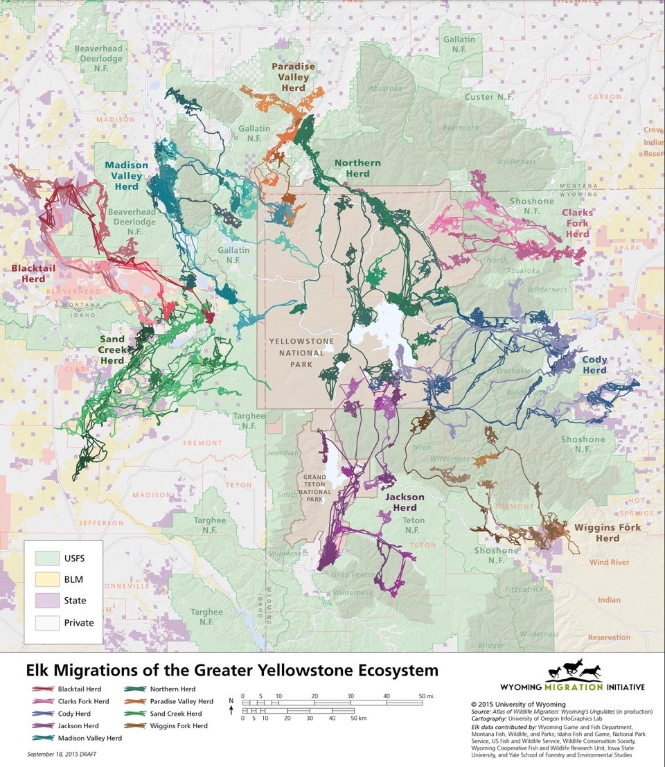 Map of Greater Yellowstone elk migrations created by the Wyoming Migration Initiative. Note how the Jackson Elk Herd shares summer range with other herds in Yellowstone National Park which, in turn, come in contact with other herds fanning out across the northern, western and eastern tiers of the Greater Yellowstone Ecosystem.  This is one way scientists say CWD might quickly spread