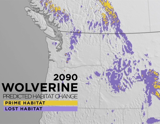 Map of present suitable wolverine habitat versus likely outlook in the 21st century as warming average temperatures reduce mountain snowpack.  It means providing refugia where wolverines are free from disturbance will be even more important. Map use courtesy American Museum of Natural History
