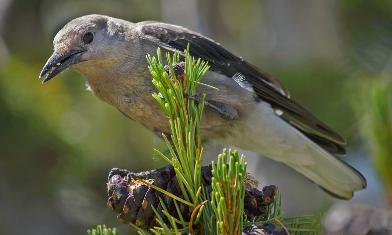Clark's nutcracker extracting seeds from a whitebark pine cone. Photo courtesy U.S. Forest Service
