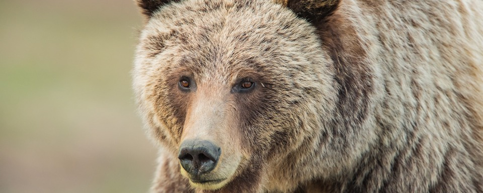 The surival of grizzlies in Greater Yellowstone depends more on the behavior of bears rather than people. Photo by Thomas D. Mangelsen (mangelsen.com)