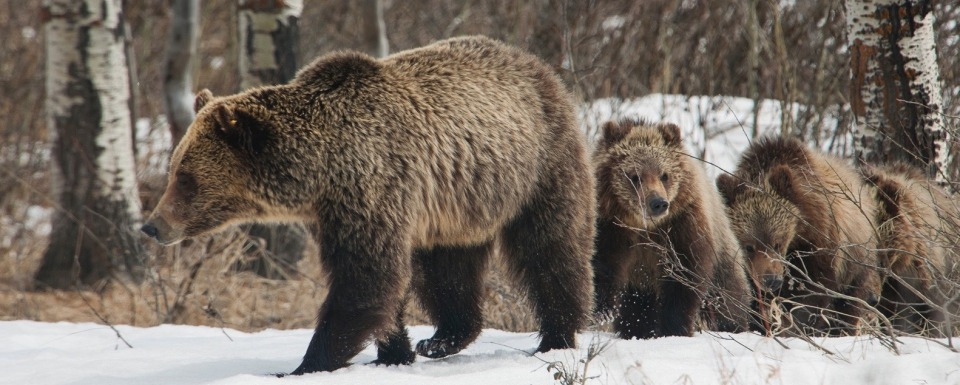 Wyoming grizzly mother and three cubs, photo by Thomas D. Mangelsen (mangelsen.com)