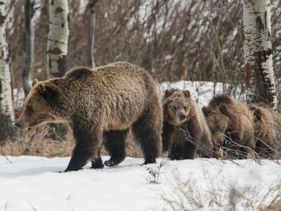 A sow grizzly in Wyoing with three cubs. (Thomas D. Mangelsen photo)