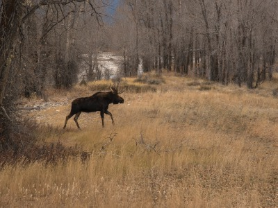 A bull moose in Jackson Hole, photograph by Sue Cedarholm