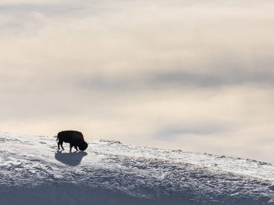 Lone Bison silhouette in Hayden Valley  NPS / Jacob W. Frank