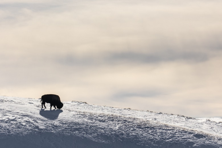 There has not been a single documented case of brucellosis being transmitted from wild Yellowstone bison to cattle in Montana yet over 10,300 have been killed based on the mere possibility it could happen.  Photo by NPS / Jacob W. Frank