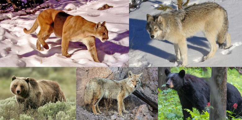 Many scientists say that Greater Yellowstone's full predator guild represents a formidable gauntlet to CWD.