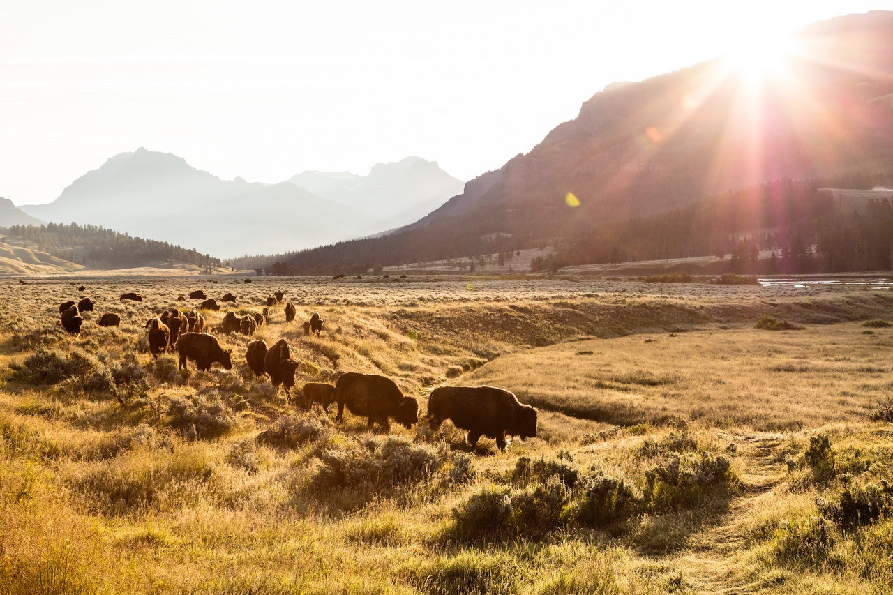 Bison group on the move at sunrise in Lamar Valley.  NPS / Jacob W. Frank