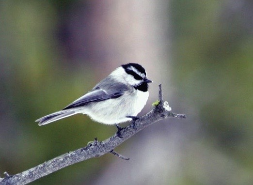 Chickadee Photo courtesy NPS