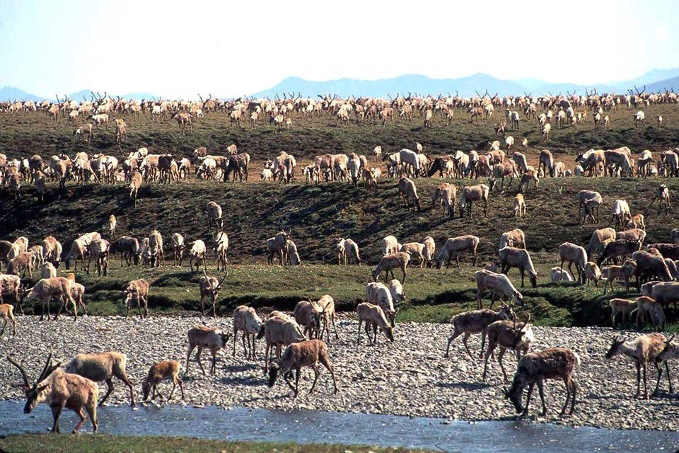 Caribou in the Arctic National Wildlife Refuge. Photo courtesy U.S. Fish and Wildlife Service