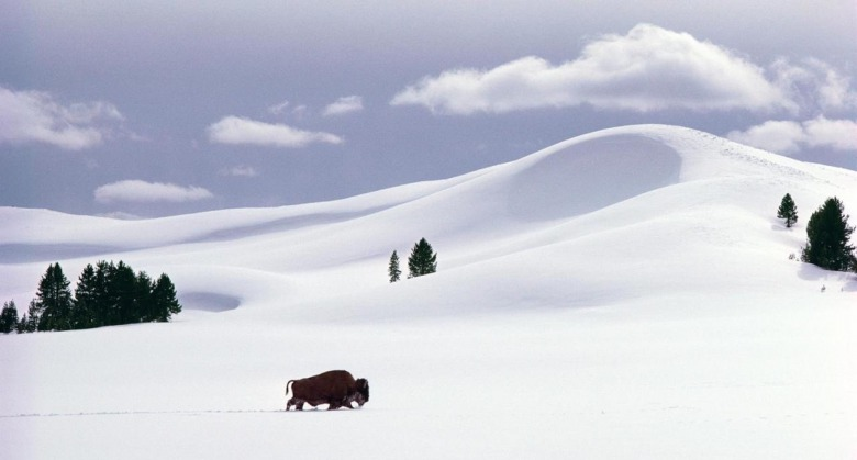 "Some have likened Fuller to a seasoned bison bull, weathering Yellowstone's elements, moving discreetly in and out of view.  In this Fuller photograph, a bull trudges across the snowdunes of Hayden Valley.  ""In winter,"" he says, ""the snow, sculpted by wind, is endlessly fascinating and the landscape, flooded with light, shadow and even moonshine, is anything but monochromatic."""