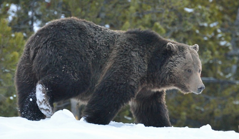 Another forest traveler, Ursus arctos horribilis (the grizzly), searching for sustenance near the Fuller abode. Photograph by Steven Fuller