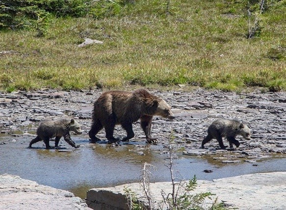 A grizzly mother and two cubs explore terrain around Logan Pass in Glacier National Park, hub of the Northern Continental Divide Ecosystem.  Photo courtesy Andrew Englehom, National Park Service