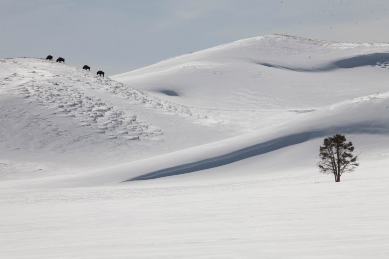 """Snow cornices resembling albino sand dunes grow on the lee side of the hills in the valley. The opposite windward side of the hills is mostly swept clean of snow allowing these bull bison to graze on the forage on the crest, poor as it is, but with a minimum expenditure of energy,"" Fuller writes.  Photo by Steven Fuller"