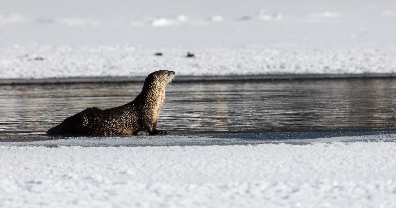 River otter in Yellowstone River; Neal Herbert; December 2015