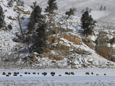 Yellowstone bison, photo by Jim Peaco/NPS