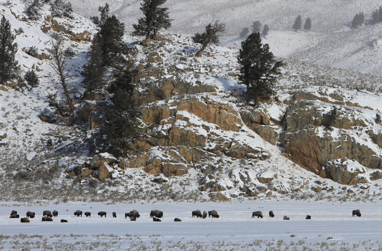 Yellowstone bison seeking food in winter. Photograph by Jim Peaco, National Park Service