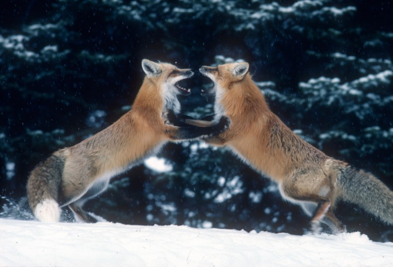 "Fuller's photo, ""Dancing Foxes,"" which won him an award."