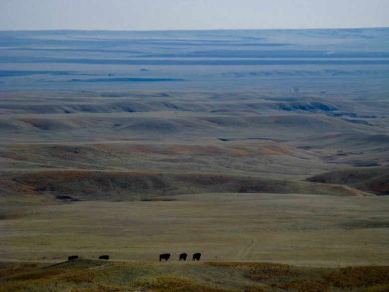 """Fort Peck,"" Lois Red Elk writes, ""my rez and our buffalo.""  Photo courtesy Lois Red Elk"