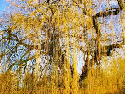 A golden weeping willow (MaxPixel)