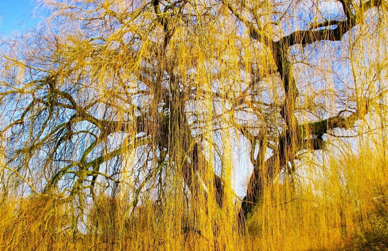 My Golden Weeping Willow Finding Grounding In The Spectacular Ordinary