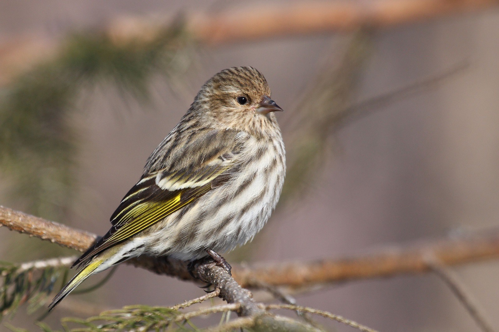 Pine Siskin by Simon Pierre Barrette