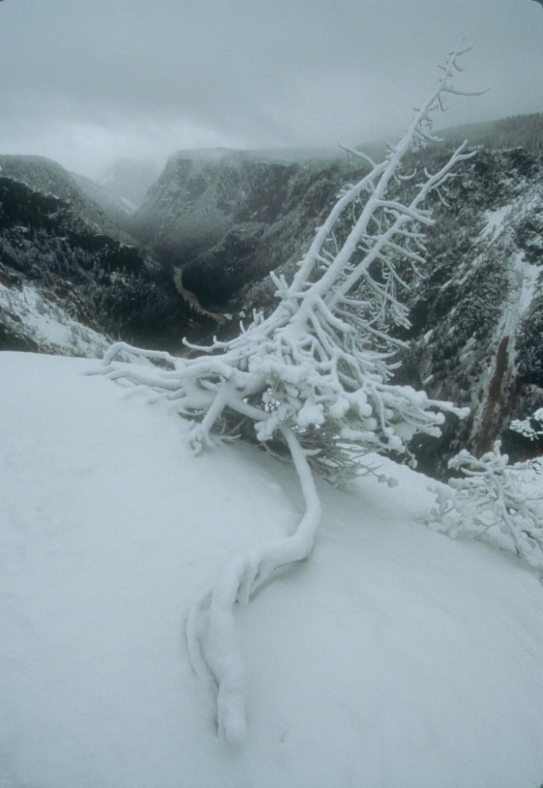 """A winter snowstorm embellishes this old pine snag that has extended a formidable root in an attempt to belay the itself from being drawn into the maw of the canyon,"" Fuller notes. ""Think of clawing your fingernails in slow motion into the top edge of a cliff with a 1,200-foot exposure. Eventually the pull of gravity over-whelmes the life force in all of us."" Photo by Steven Fuller"