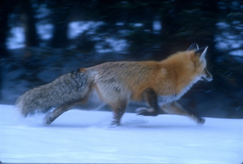 A Yellowstone fox in twilight trots toward the sound of stirring voles. Photo by Steven Fuller