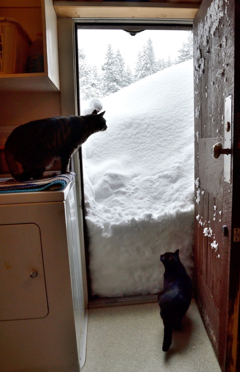 The drift at the back door, my winter entrance, the next morning. There was much more to come. Tiger and Black Girl, permanently confined to quarters, long for the snowy world outside. At the foot of the door were tracks and urine left by a pine marten.