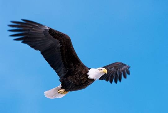 "A bald eagle: ""eagles carry our prayers to the great spirit,"" Red Elk says. ""In our Dream Society, the eagle often relays messages to other dreamers."" Photo courtesy US Fish and Wildlife Service"
