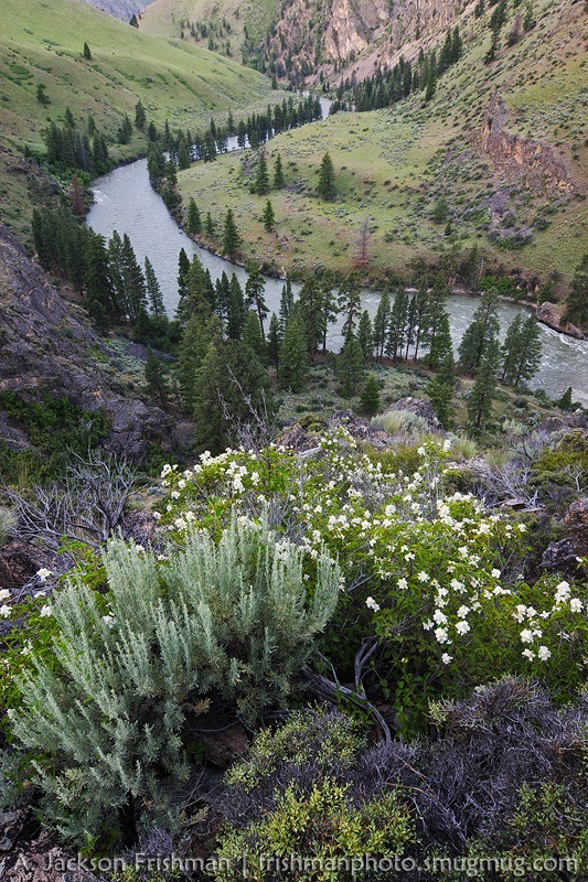 Blooming syringa above the Middle Fork of the Salmon, Idaho. Photo by Jackson Frishman
