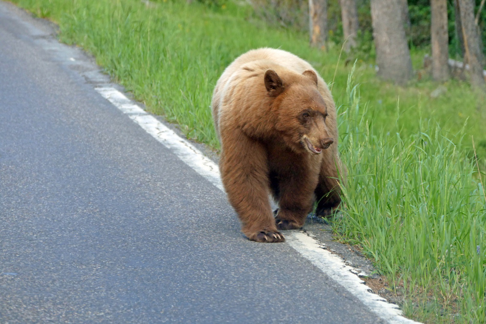Black bear crossing the road near Obsidian Creek; NPS / Diane Renkin