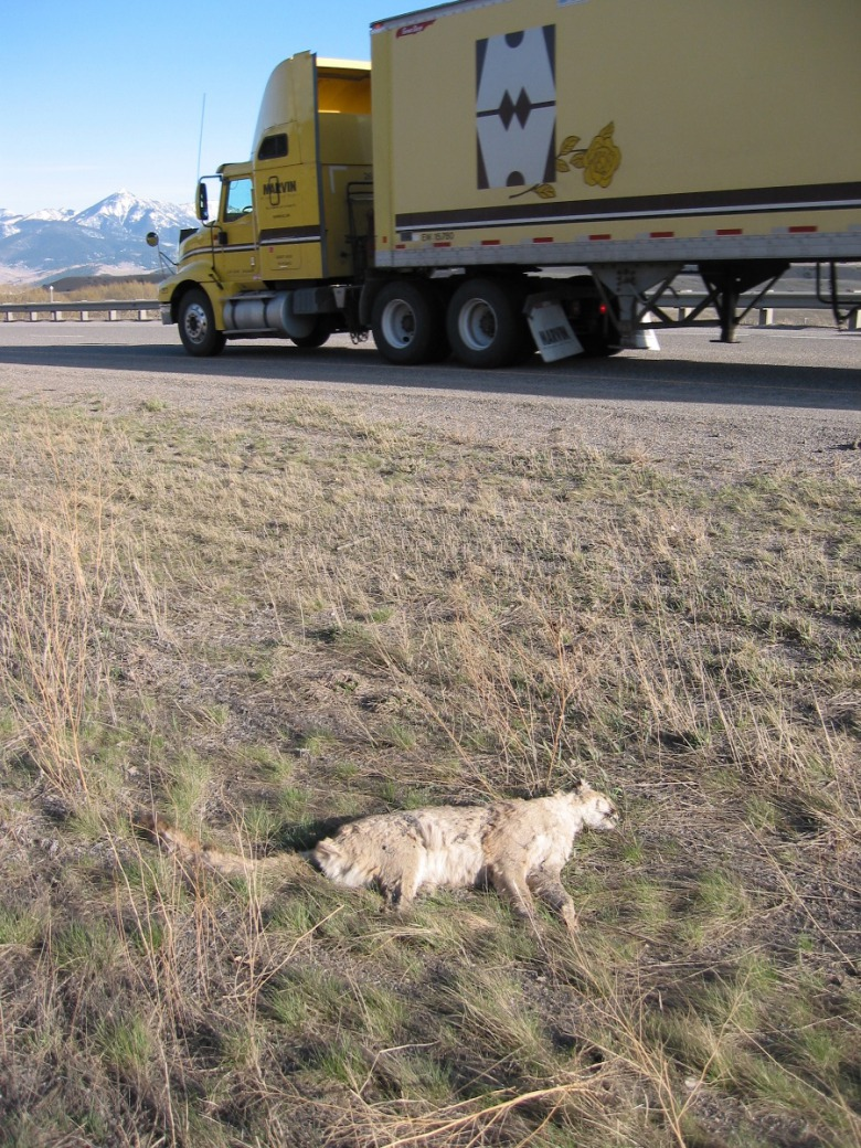 Highways represent death traps for many species.  A mountain lion becomes another casualty of the Interstate-90 corridor on Bozeman Pass between Bozeman and Livingston. Photo courtesy Lance Craighead / the Craighead Institute