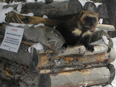 One of the wolverines in Dr. Kim Heinemeyer,'s research project