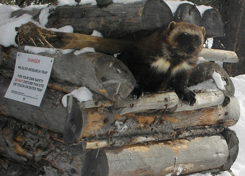 A trail camera captured this wolverine coming out of a cubby. Photo courtesy Wolverine Winter Recreation Project