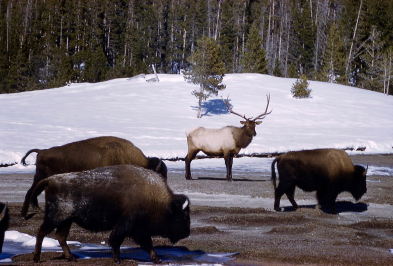 A contrast in species persecution—one is guilty of transmitting disease and yet is allowed to wander outside Yellowstone freely; another has never transmitted brucellosis to cattle but treated with lethal intolerance in Montana. Photo courtesy National Park Service
