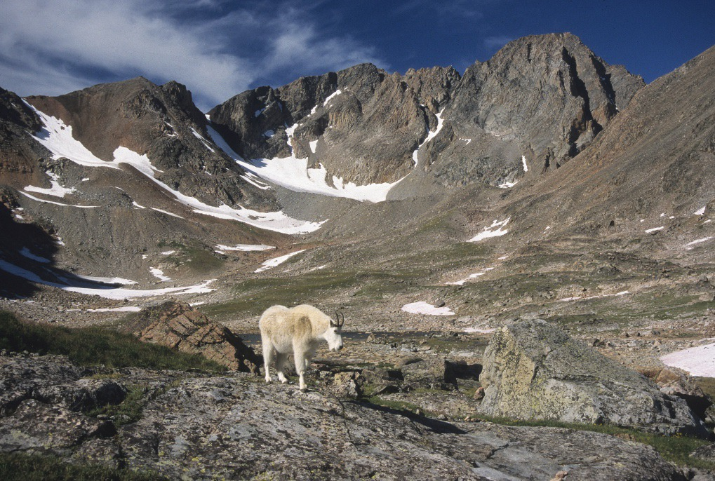 A mountain goat roams the Sky Top drainage below the south face of 12,799-foot Granite Peak – Montana's highest summit located in the Beartooth Mountains. Photo courtesy Rick and Susie Graetz