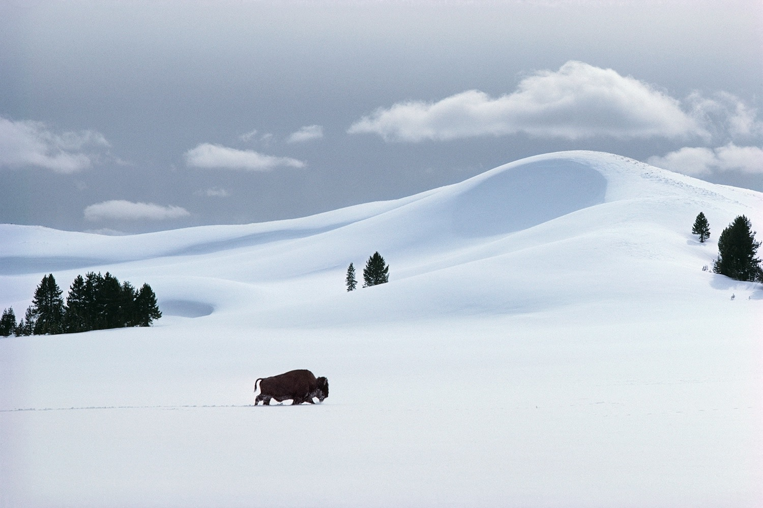 """I have long thought of Yellowstone in winter as an albino desert of snow dunes where much of the water is locked up in crystalline solids,"" Fuller observes. ""In Yellowstone, as in Namibia, the landscape is often animated by large spectacular animals. Here a bull bison makes his way across the mid-winter snowscape, a harsh environment of deep cold and deep snow but one in which he is at home."""