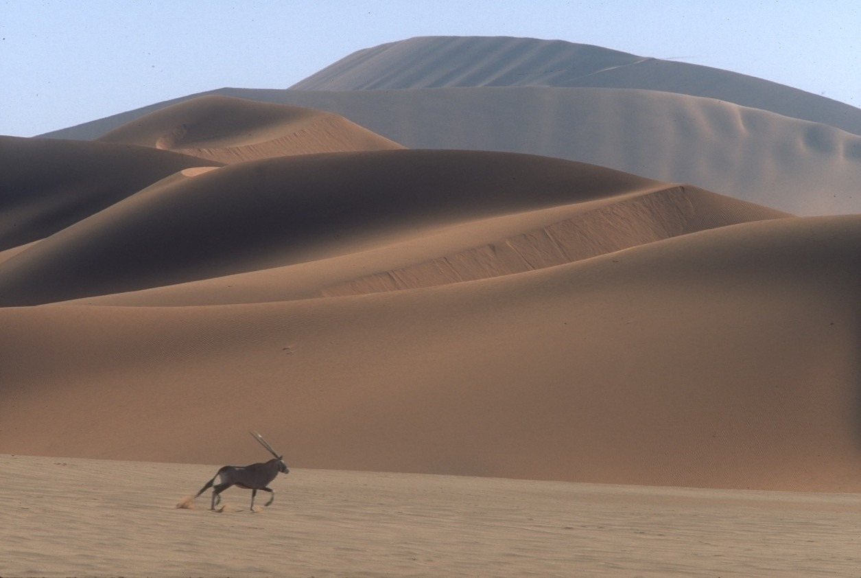 A Gemsbok moves amid the great dunes of the Namib Desert. The species is highly adapted to life in the often waterless, intensely hot, fierce environment it makes its own. Both environments take their toll on individuals but in both worlds the species thrive. Photos by Steven Fuller