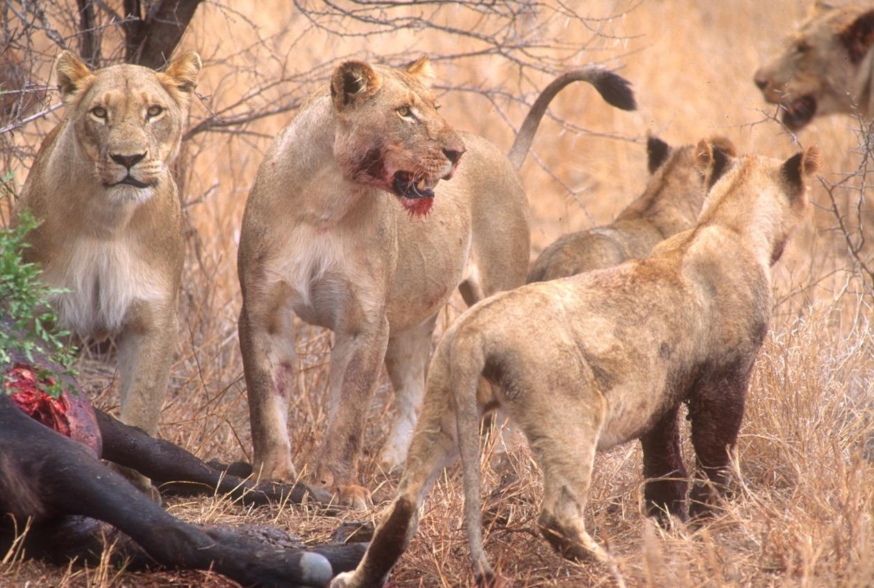 Both worlds are home to archetypal predators. A Yellowstone grizzly bear, above, recently  out of  winter den, feeds on a young winter-killed bison while a pride of lions feed on a just-killed wildebeest. The dynamics of life and death are identical in both worlds, only the players are different. Photos by Steven Fuller