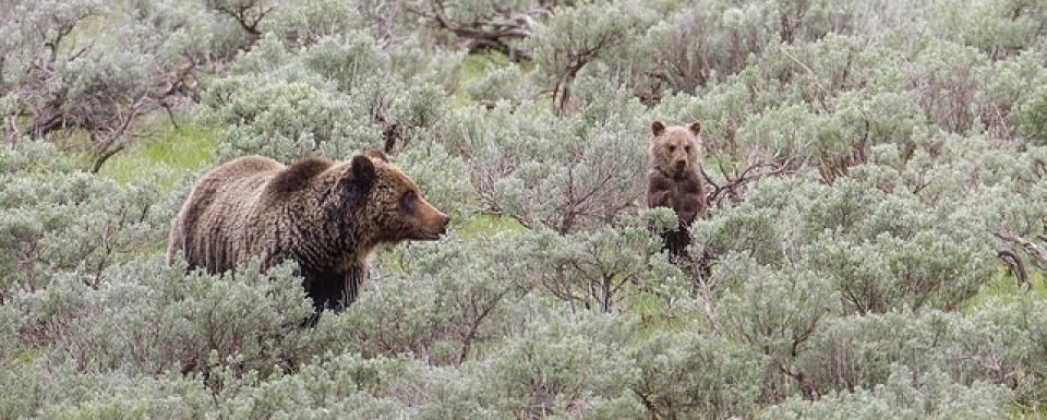 Grizzly bear mother and cub in Yellowstone