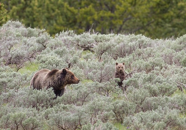 A Yellowstone grizzly mother and cub. Photo courtesy Jim Peaco/NPS